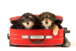 Two cute puppies brothers in the suitcase