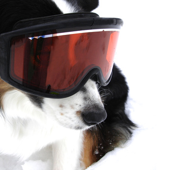 Australian Shepherd Dog in Snow