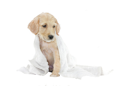 golden retriever puppy and towel