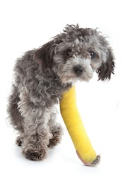 Dog with broken leg in a cast