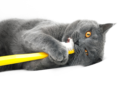 British Shorthair cat, playing with toothbrush