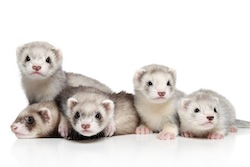 Ferret puppies on a white background