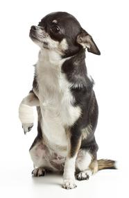 pansement chien